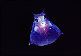 Translucent-cowfish-newbert-1145302-ga